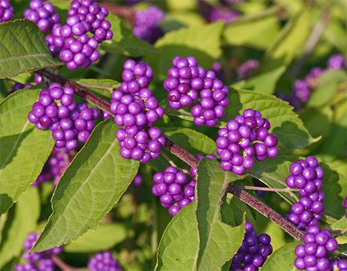 Bright purple berries of Callicarpa