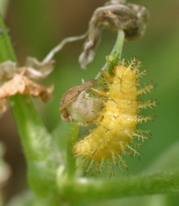 Bean beetle larvae do extensive damage to bean foliage