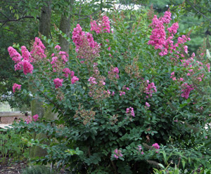 Crape myrtle growing as a shrub