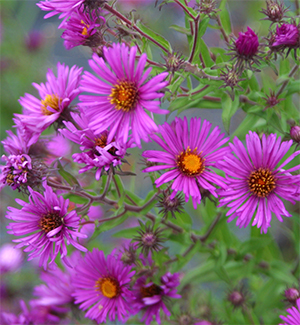 Aster n.a. 'Alma Potschke' has vivid pink blooms.