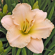 Daylily 'Lullaby Baby'