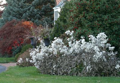 Anemone robustissima seedheads