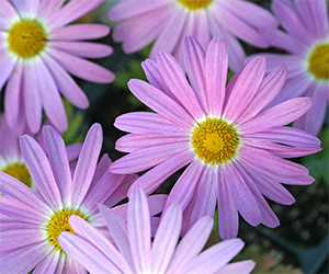Chrysanthemum 'Ryan's Pink' is a super hardy fall