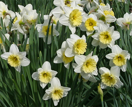 Daffodils usher in the new spring season!