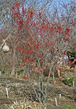 Winterberry in winter