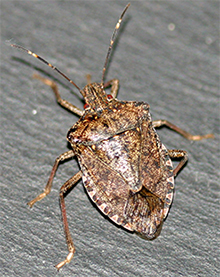 Adult stink bug