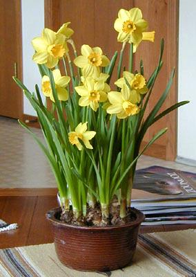 Forcing daffodils