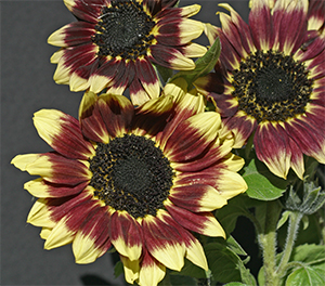 The sunflower variety 'Florenza' is bright and beautiful.