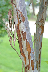 The beautiful exfoliating bark of crape myrtle gets more interesting with age_