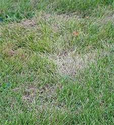 Lawn with grub damage