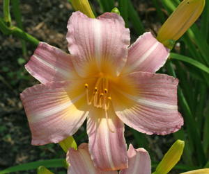 Daylily Added Joy