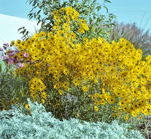 Helianthus combines well with many other fall bloomers.