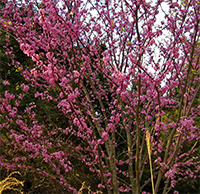 The native eastern redbud, Cercis canadensis.