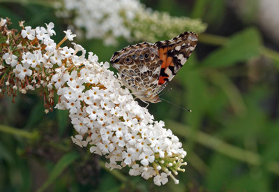 Fritillary butterfly on Buddleia 'White Profusion'