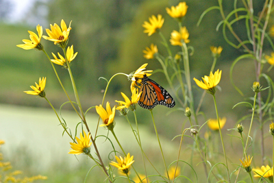 Monarch butterfly visits Helianthus