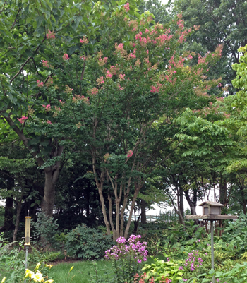 Crape myrtle pruned to tree form