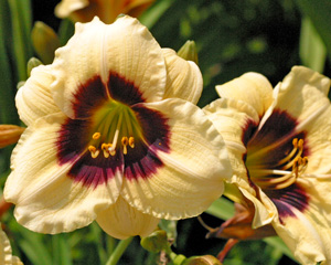 Daylily Siloam Button Box