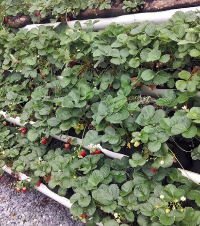 Strawberries growing in the BroGrow System