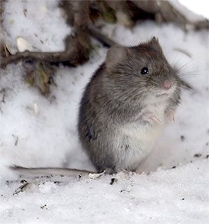 Voles can be damaging to plants especially in winter.