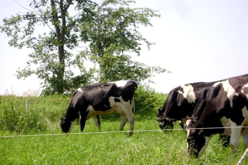 Dairy Grazing