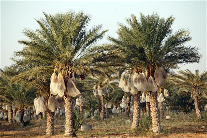 Medjool date palms