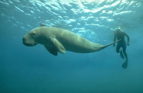 dugong 2