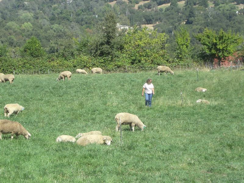 ewes grazing hay field