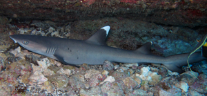 Juvie White Tip Shark