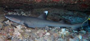 Juvie White Tip Shark