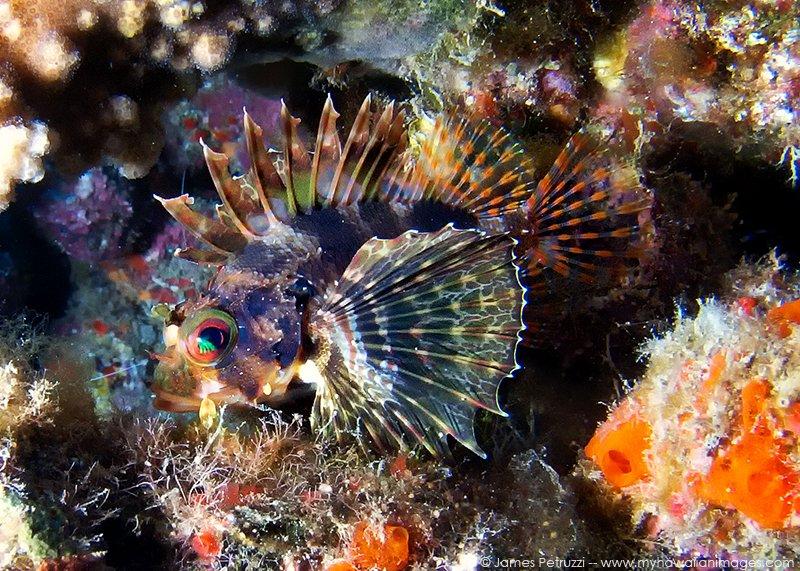 Green Hawaiian Lionfish