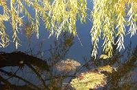 willow and water
