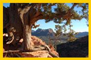 Sedona vortex juniper