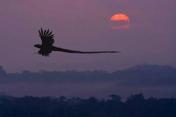 quetzal flying