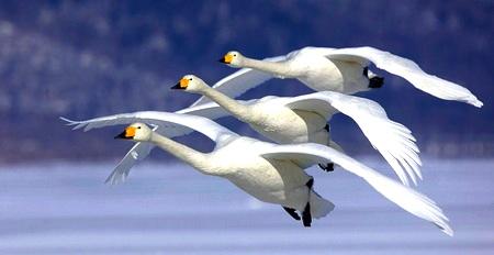geese-rhythm