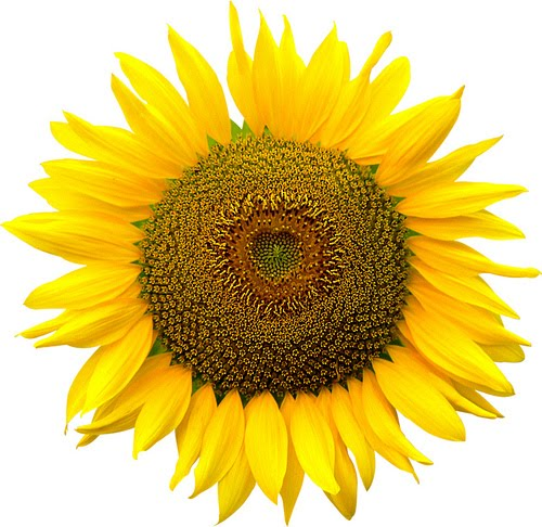 sunflower-png