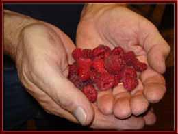 Raspberries in Hand