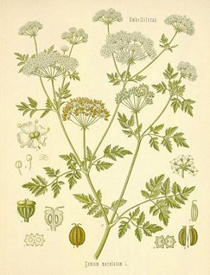 green plants - hemlock