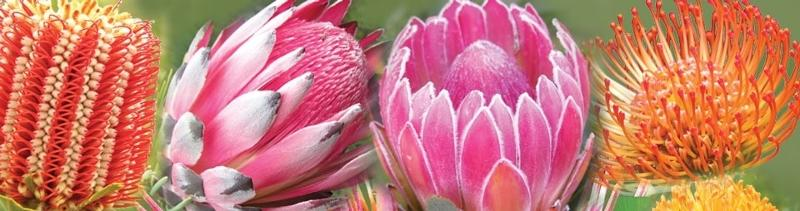 Protea Masthead
