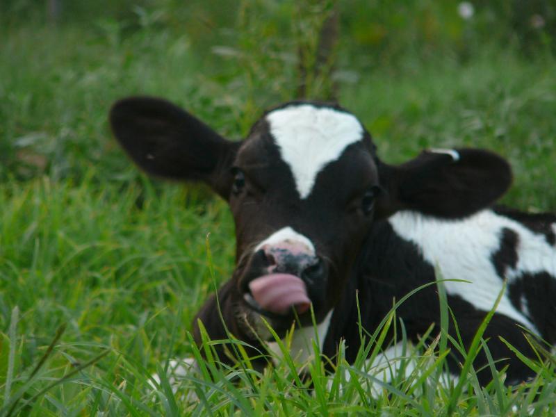 danda cow