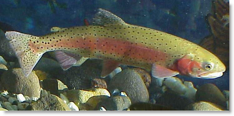 Trout Need Cool Clear Water