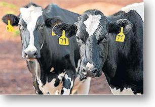 Cows Staring at camera