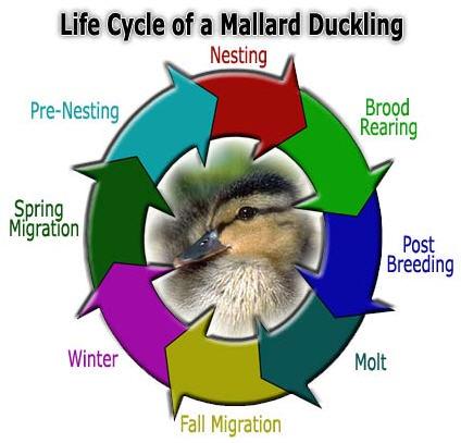Mallard Duckling Life Cycle
