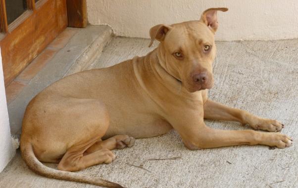 Pitbull Dogs Tan