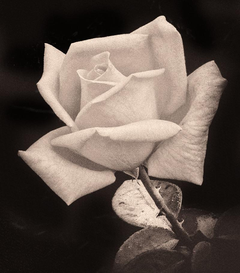 White Rose with Thorns