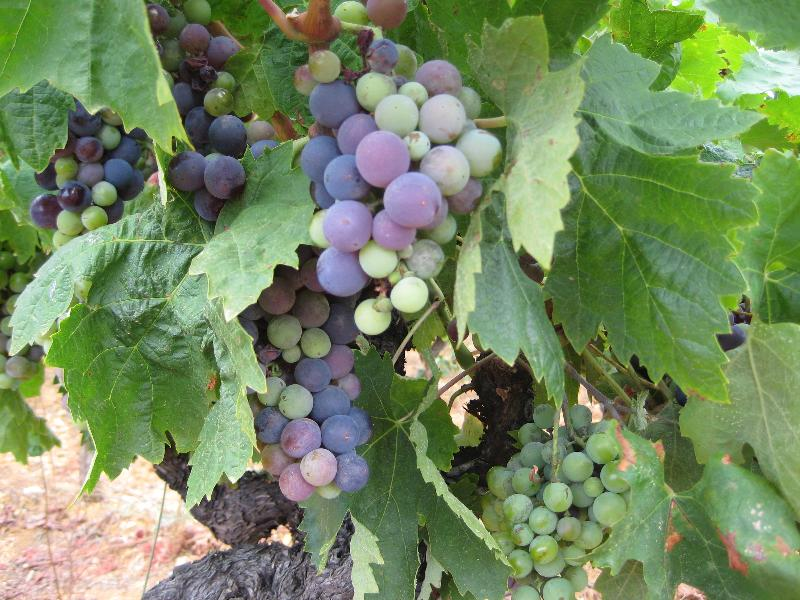 vin vines