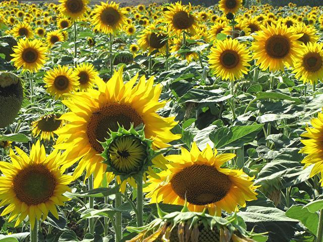Fields of Umbrian sunflowers