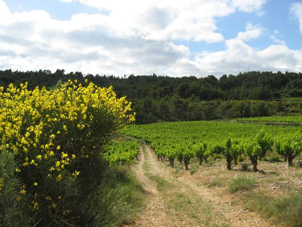 Languedoc yellow