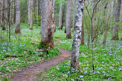 Wild Phlox Trail