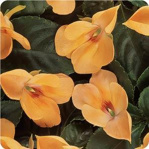 Fusion Sunset Peach Impatiens