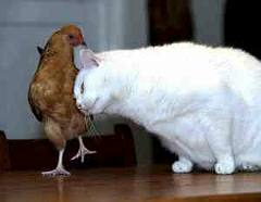 Chicken is friend, not food